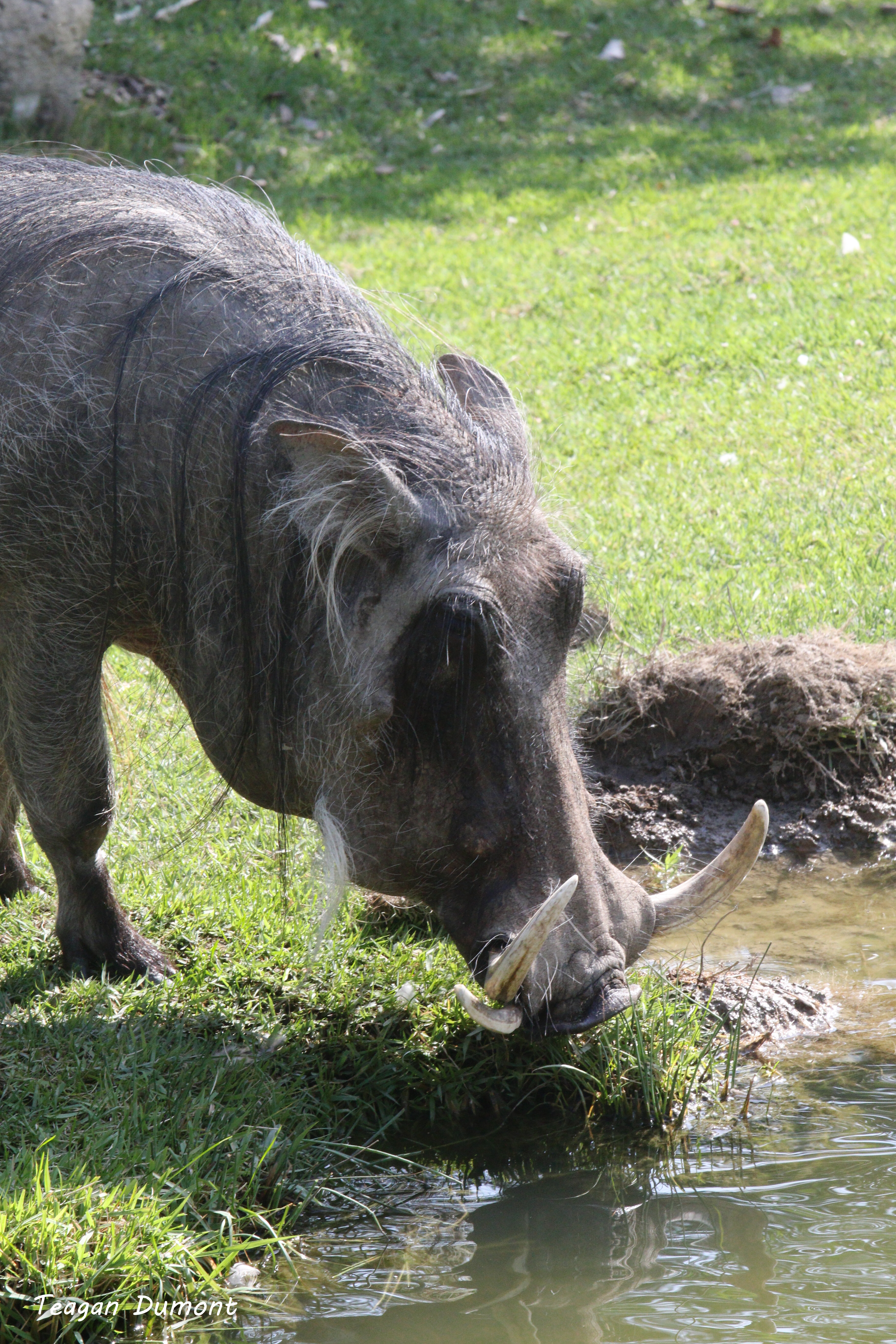 Willy the Warthog